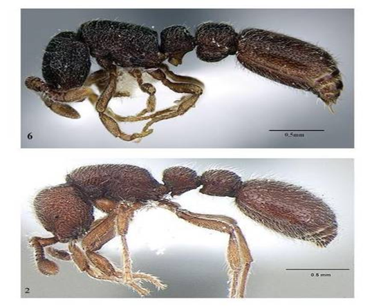 new species of ants in India