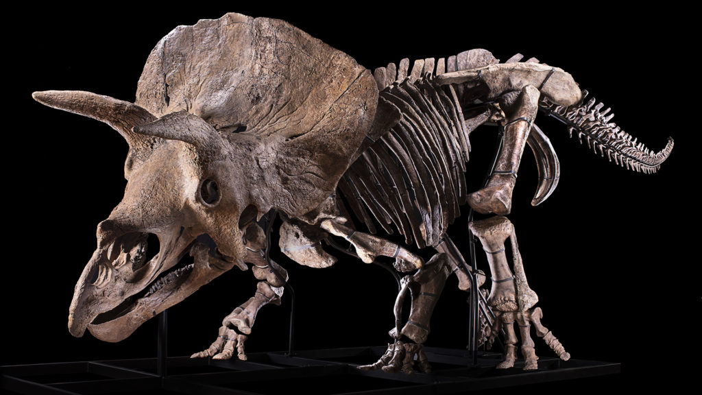Biggest Triceratops 'Big John' to be Auction Soon